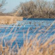 Ducks on St. James Lake